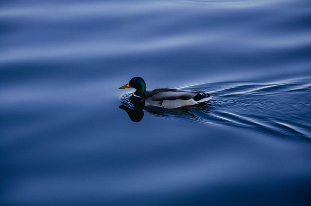 duck-931989_640