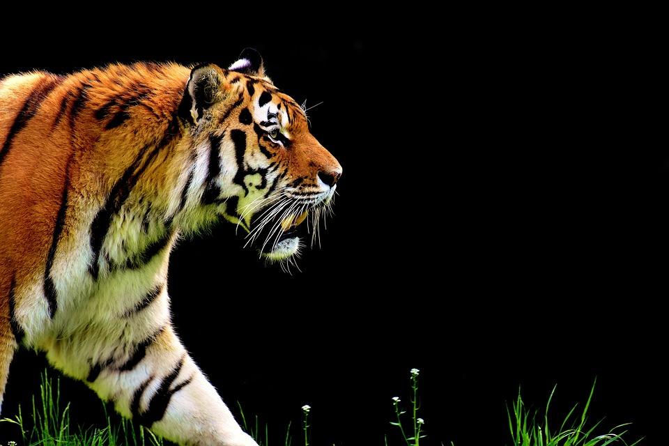 tiger-2320819_960_720