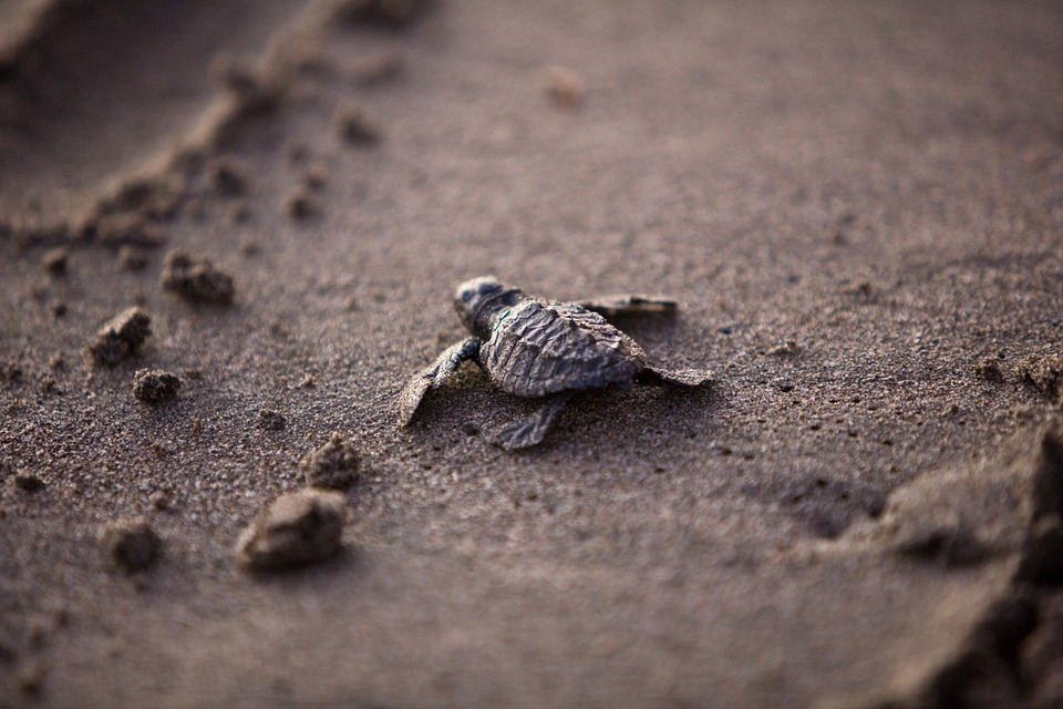 sea-turtle-356125_960_720